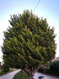 Portrait d'arbre de l'Iran images stock
