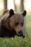 Portrait d'arctos d'Ursus d'ours de Brown avec des myrtilles photographie stock libre de droits