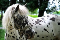 Portrait of D`Artagnan`s horse stock photography