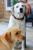 Portrait d'beaux chiens Images stock