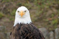 Portrait d'Eagle chauve, leucocephalus de Haliaeetus Photo libre de droits