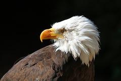 Portrait d'Eagle chauve sur un fond noir image stock