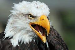Portrait d'Eagle chauve sur un fond vert-foncé images libres de droits