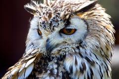 Portrait d'Eagle Owl et du x28 eurasiens ; Bubo& x29 de Bubo ; photographie stock