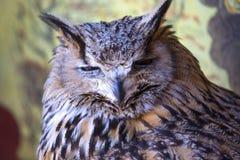 Portrait d'Eagle Owl eurasien (bubo de Bubo) photographie stock