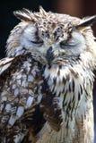 Portrait d'Eagle Owl eurasien (bubo de Bubo) image libre de droits