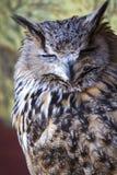 Portrait d'Eagle Owl eurasien (bubo de Bubo) images libres de droits
