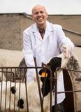 Portrait d'employé masculin mûr de vétérinaire avec des cheptels laitiers en quelques vies Photo stock
