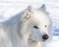 Portrait d'hiver d'un chien blanc du Samoyed Images libres de droits