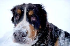 Portrait d'hiver de chien de montagne de Bernese Photos libres de droits