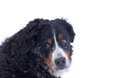 Portrait d'hiver de chien de montagne de Bernese Image libre de droits