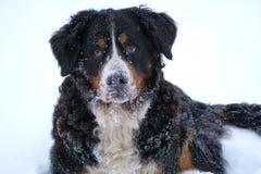Portrait d'hiver de chien de montagne de Bernese Photo stock