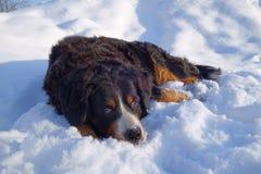 Portrait d'hiver de chien de montagne de Bernese Photographie stock