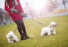 Portrait d'hiver des chiens de marche de femme enceinte Photographie stock