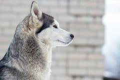 portrait d'hiver d'un chien enroué sur un fond neigeux de nature photos stock