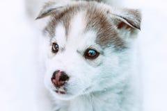 portrait d'hiver d'un chiot enroué mignon sur un fond neigeux de nature Photos libres de droits