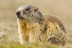 Portrait d'isolement de marmotte Photographie stock
