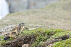 Portrait d'isolement de marmotte tout en venant à vous Photos stock
