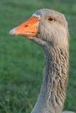 Portrait d'oie Photographie stock libre de droits