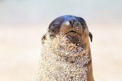 Portrait d'otarie de Galapagos Na sur d'Espanola île, Galapagos Image stock