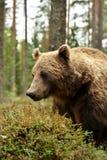 Portrait d'ours de Brown avec des myrtilles image libre de droits