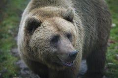 Portrait d'ours de Brown Réservation, refuge pour animaux photo stock