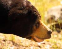 Portrait d'ours de Sun Photo libre de droits