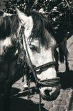 Portrait d'un âne triste dans la campagne Guatemala Photos stock