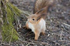 Portrait d'un écureuil curieux Image stock