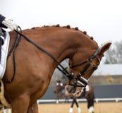Portrait d'un étalon de sports Monte sur un cheval Image libre de droits