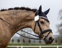Portrait d'un étalon de sports Monte sur un cheval Pur sang h Photos libres de droits