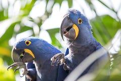 Portrait d'un ara bleu de jacinthe images stock