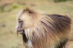 Portrait d'un babouin masculin de Gelada Image stock