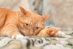 Portrait d'un beau chat Images stock