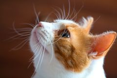 Portrait d'un beau chat blanc rouge image stock