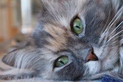 Portrait d'un beau chat gris pelucheux de chat avec les yeux verts, cloes  images stock
