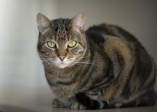 Portrait d'un beau chat tigré Images stock
