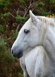 Portrait d'un beau cheval blanc en Irlande images stock