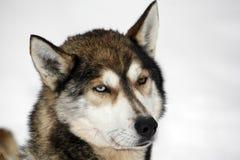 Heterochromia d'un chien de traîneau sibérien images libres de droits