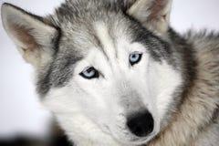 Fermez-vous vers le haut d'un chien de traîneau sibérien photo libre de droits
