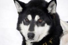 Fermez-vous vers le haut d'un chien de traîneau sibérien noir photos libres de droits
