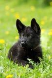 Portrait d'un beau chiot de berger allemand de couleur noire L images stock