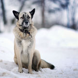 Portrait d'un berger allemand Photo stock