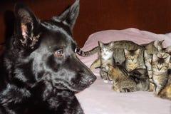 Portrait d'un berger allemand avec un chaton des chatons Photos libres de droits