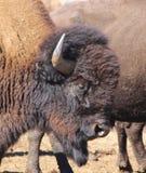Portrait d'un bison américain à la frontière 6 du Colorado-Wyoming Photographie stock libre de droits