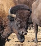 Portrait d'un bison américain à la frontière 1 du Colorado-Wyoming Photo libre de droits