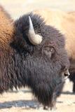 Portrait d'un bison américain à la frontière 3 du Colorado-Wyoming Photographie stock libre de droits