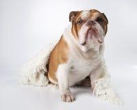 Portrait d'un bouledogue de l'anglais de race de chien Image stock