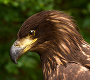 Portrait d'un Brown Eagle d'or sur un fond trouble vert Image libre de droits