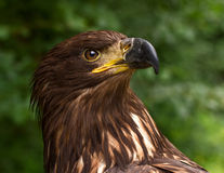 Portrait d'un Brown Eagle d'or sur un fond trouble vert Photographie stock